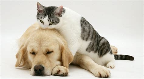 golden retriever and cats ο σκύλος που φοβάται να περάσει μπροστά από τη