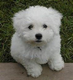 Do Bichons Shed by 1000 Images About Future Puppy On Poodle