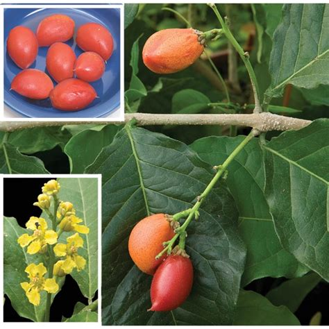 peanut butter fruit bunchosia armeniaca