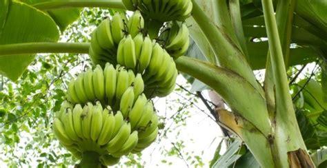 Jual Starbio Plus Di Medan pisang untuk pakan ternak teknologi solusi dunia peternakan