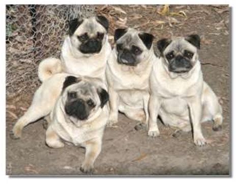 family of pugs our pugs