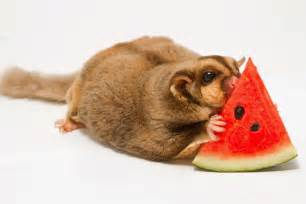 exotic nutrition pet company food basics for your sugar glider exotic nutrition