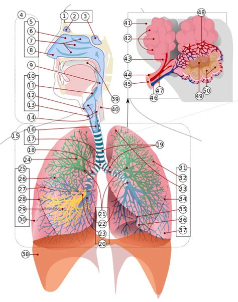 Respiratory Description by File Respiratory System Complete Numbered Svg The Free Encyclopedia