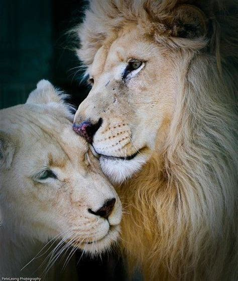when a lioness growls a s pride books 25 best ideas about and lioness on