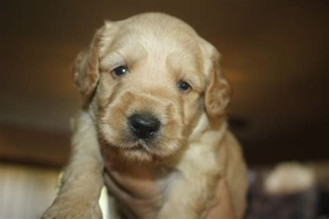 goldendoodle puppies for sale in maine labradoodle puppies mini and medium australian
