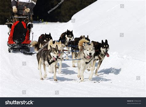 snow dogs 2 snow dogs 2 stock photo 57002249