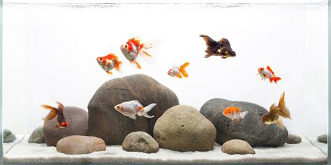Aquarium Design Group Goldfish | adg s goldfish aquarium ada 120 h t a g