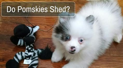 do pomeranian shed do pomskies shed exactly what you are looking for