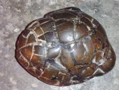 Batu Cincin Sisik Naga Coklat K059 10 warna batu sisik naga yang paling menarik merahputih