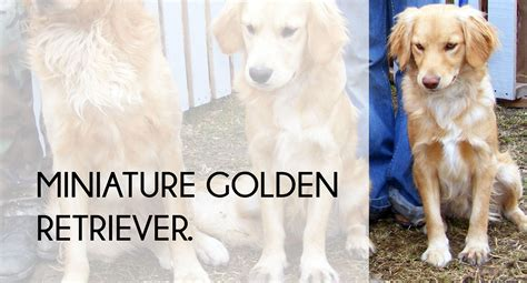 small golden retriever how to the right for budget breed lifestyle the gentleman