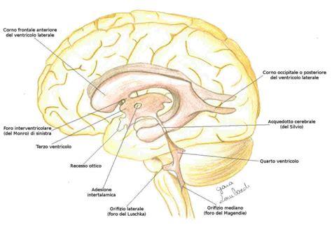 pavimento quarto ventricolo osteopatia craniale liquor e ventricoli
