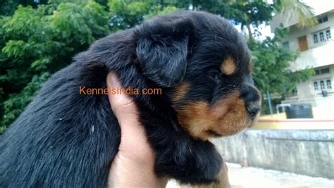 rottweiler in bangalore show quality rottweiler pups for sale in bangalore