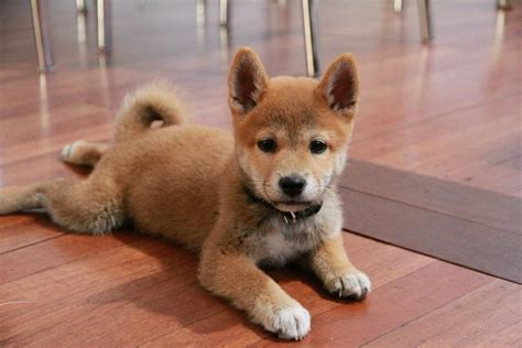 shiba inu puppies awesome shiba inu puppy pictures