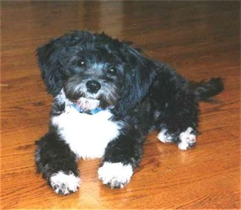 shih tzu vs poodle black shih tzu poodle puppies photo happy heaven