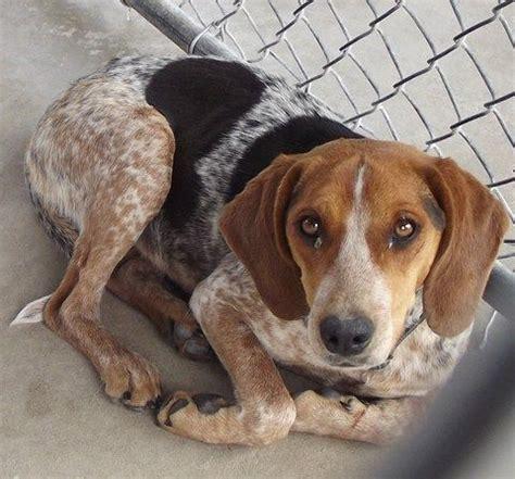 bluetick beagle puppies beagle blue tick hound mix my farm board
