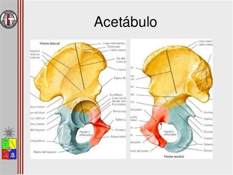anatomia de la cadera anatom 237 a de cadera