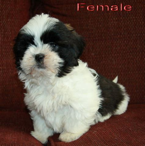 black white shih tzu golden retriever mix puppy for sale breeds picture