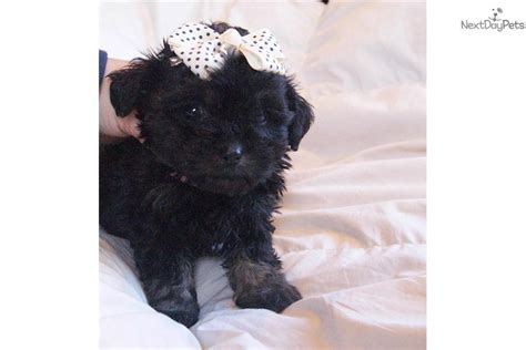 yorkie poo puppies for sale in michigan black yorkie poo puppy breeds picture