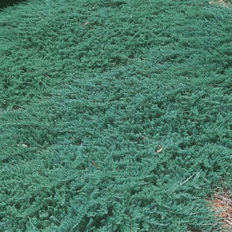 Juniperus Blue Rug by Juniperus Horizontalis Wiltonii Jeneverbes Coniferen Mar 233 Chal Coniferen