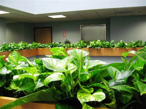 houseplant vine pothos plant indoor house plants air purifier plants