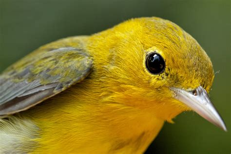 Prothonotary Search Prothonotary Warbler Protonotaria Citrea Recapture By Graesser The Roger