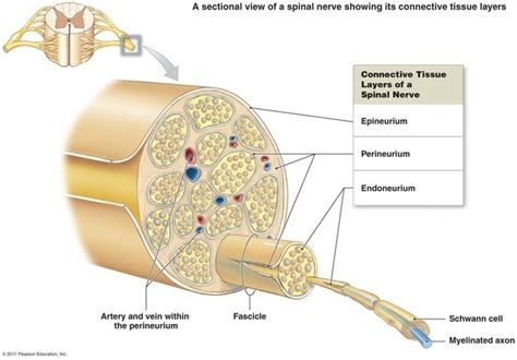 nerve damage after c section what happens when a nerve is damaged or penetrated