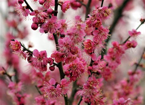 Meihua Chiongsham nanjing int l plum blossom festival to open on feb 16 china chinadaily cn