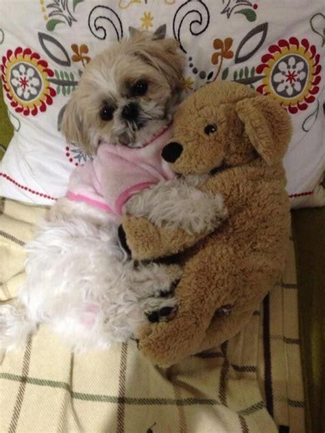 shih tzu joke 12 reasons why shih tzus are dangerous dogs