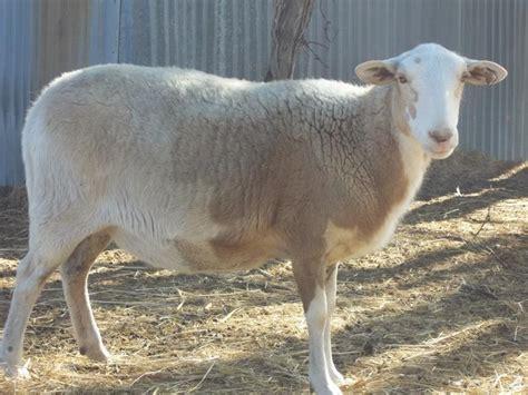 Types Of Hair Sheep by Dautobi Acres