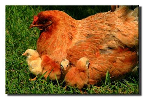 How To Raise Backyard Chickens by Discover And Save Creative Ideas