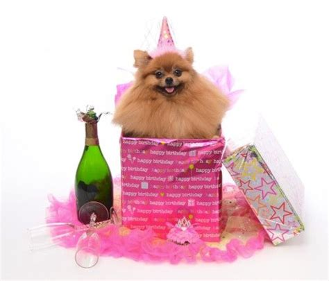 Birthday Pompom 54 best images about pomeranian birthday on birthday cakes shops and adoption