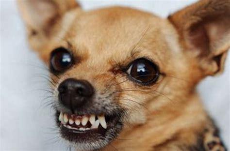 aggressive puppy biting and growling arrabbiato sentio