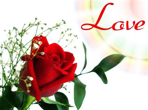 wallpaper flower rose love hd latest red rose flowers wallpapers entertainment only