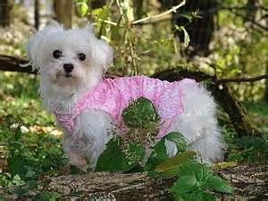 southern comfort maltese rescue southern comfort maltese rescue past adoptions