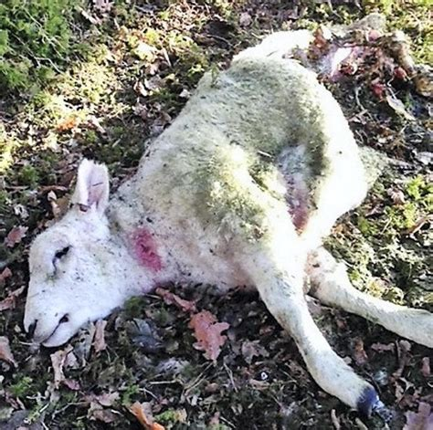 sheep no more the of awareness and attack survival books graphic content listen dogs kill 13 sheep on kildare