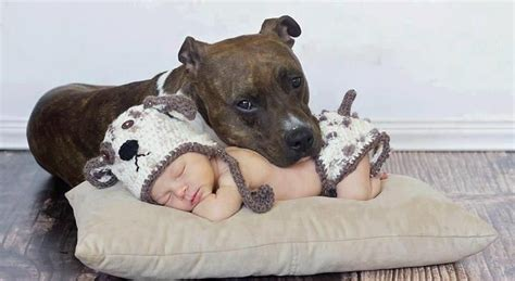 12 reasons why you should never own bull terriers 12 reasons why you should never own staffordshire bull