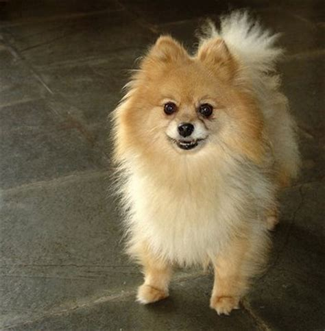 pomeranian coughing and breeds pomeranian dogs health