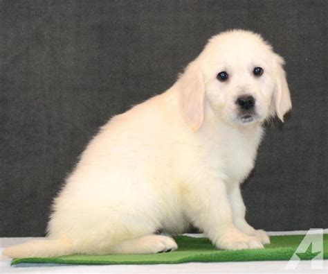 golden retriever puppies indiana for sale golden retriever puppies indiana myideasbedroom