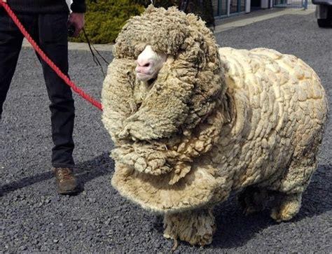 Merino Wool what is merino wool