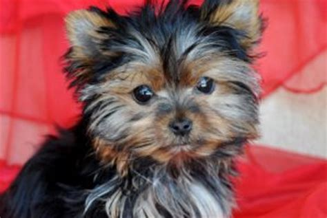 how do yorkies live in years 20 breeds that make the cutest puppies