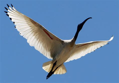 What Does Wood Symbolize ibis bird facts about all