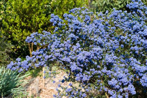 shrub blue flowers ceanothus blue flowering shrub plant flower