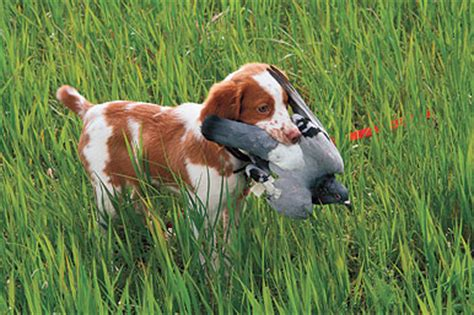 bird puppies tips for introducing your gun puppy to birds