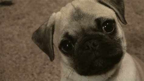 looking after a pug puppy this pug puppy attack is the cutest one how she goes after s