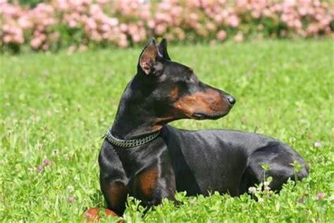 cadenas de castigo alemanas para perros trastornos de la piel comunes en el dobermann perrospedia