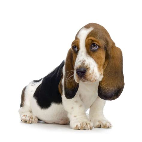 pictures of hound dogs basset hound dogs breeds pets