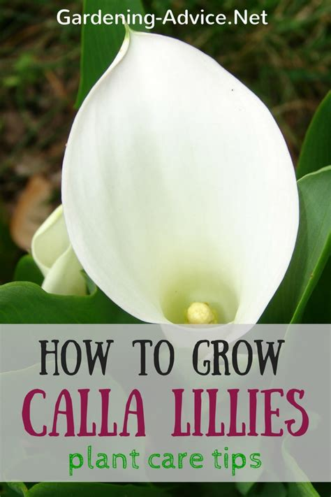 calla lily plant care tips how to grow arum lily bulbs