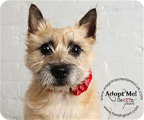 puppies for adoption omaha ne carrie adopted omaha ne cairn terrier