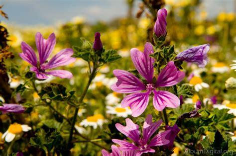 imagenes flores silvestres flores silvestres
