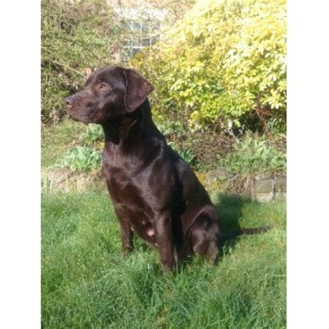 working golden retriever breeders uk working gundogs labrador retriever breeder in great glen